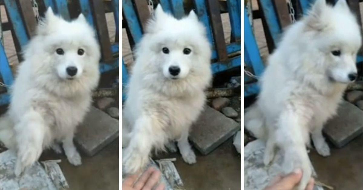 Un perro destinado a convertirse en carne, salva su vida cuando le tiende la pata a su salvador.