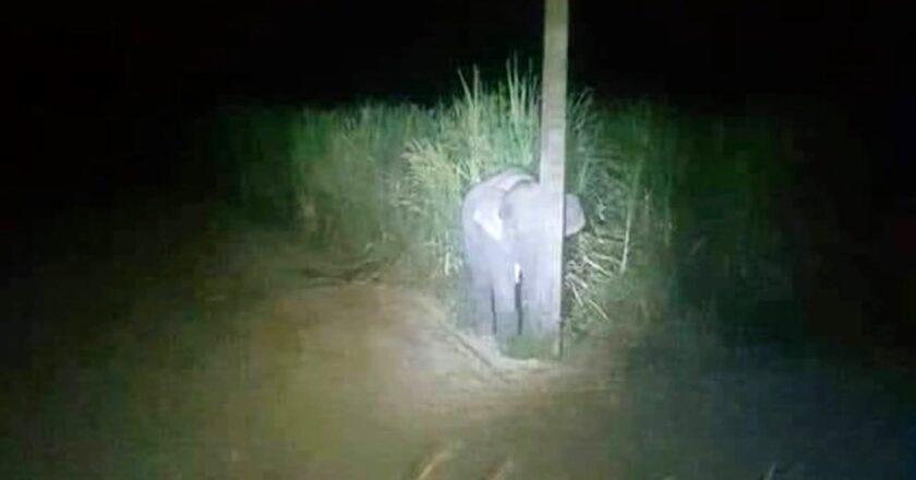 Un elefante bebé fue sorprendido robando y se esconde detrás de un poste de luz. O al menos lo intenta.