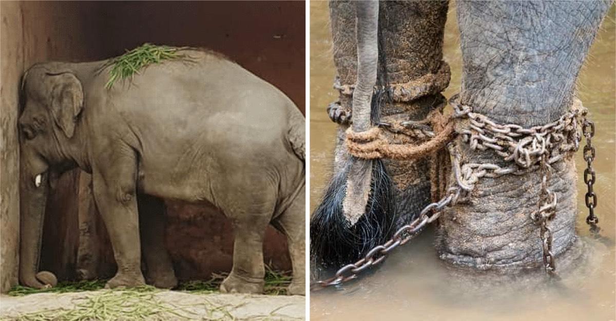 Rescatan de un zoológico al elefante más solo del mundo. Tendrá una nueva vida.