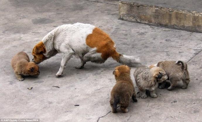 Perdió sus patas traseras en un accidente, pero igual cría a sus cachorros. Ejemplo de madre.