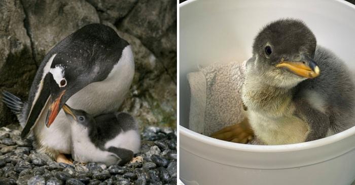 Una pareja de pingüinos homosexuales, cría un pichón huérfano. Son los mejores padres.